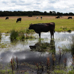 Cow-Grazing-in-Water